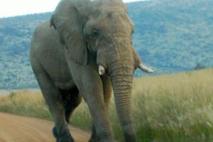 "An elephant ""shot"" with camera at too close proximity."