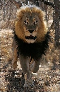 Charging lion, similar to the one that came toward us.
