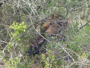 A male lion feeding on a wildebeest, in a dense bush similar to the Klaserie lions.