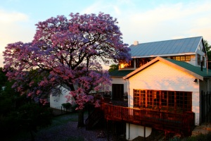 Our 100-year old rental house with Jacaranda tree, Kensington